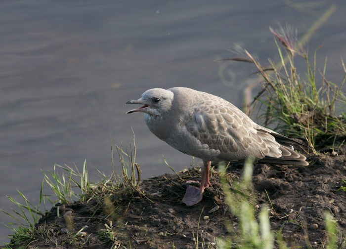 Mew Gull juvenile, Chen River, Fairbanks