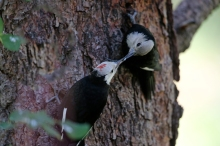 Black-headed Woodpecker juvenile, fed by parent, Idaho City, Idaho