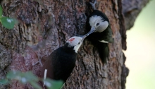 Black-headed Woodpecker juvenile, fed by parent, Idaho City, Idaho