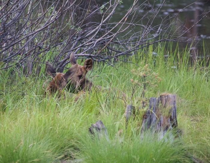 Moose Calves, Payette Lake, Idaho