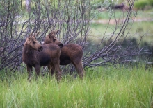 Mom's calling. Moose Calves, Payette Lake, Idaho