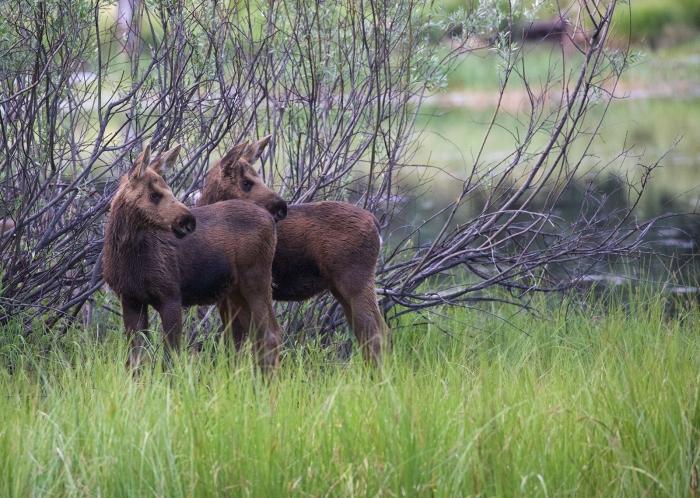 Mom's calling. Moose Calves, Payette Lake, Idaho