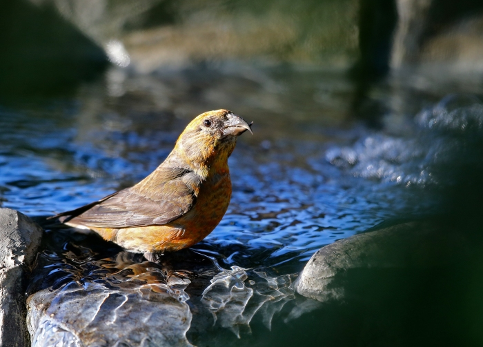 Red Crossbill Female, Idaho City, Idaho
