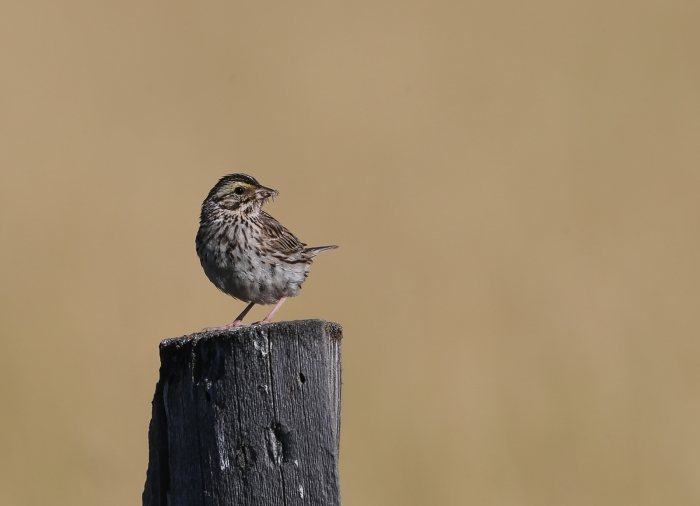 Savannah Sparrow, Blacks Creek Reservoir, July 2017