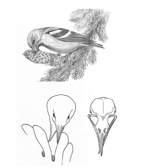Top: Crossbill feeding on spruce cone (drawing by J. Zickefoose). Bottom: Schematic of crossed bills and skull, showing how birds extract seeds from cones (D. Otte, redrawn from Benkman 1987b). Credit: Macaulay Library and the Cornell Lab of Ornithology