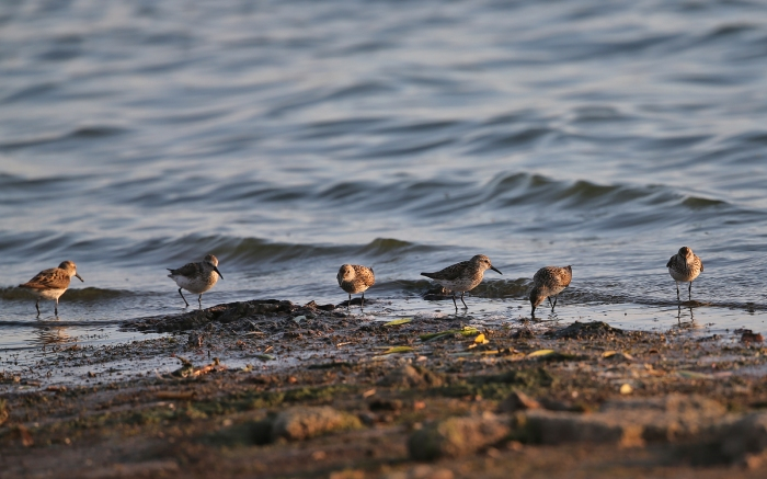 Western Sandpipers, Blacks Creek Reservoir, July 2017