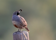 California Quail Male, Hyatt Hidden Lakes Reserve, Boise, Idaho