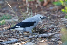 Clark's Nutcracker with Whitebark Pine Seed, Snowbank Mountain, Idaho