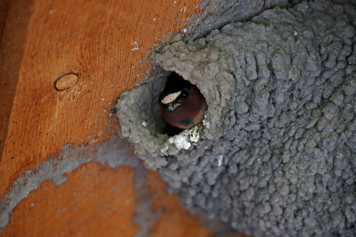 Building a Cliff Swallow Nest, Step Three
