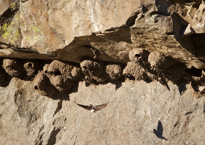 Small Cliff Swallow Nest Colony on a Cliff, Page Springs, Malheur NWR, Oregon