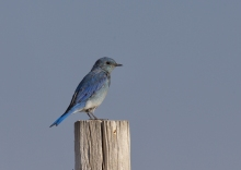 Mountain Bluebird, Cascade Lake, Idaho