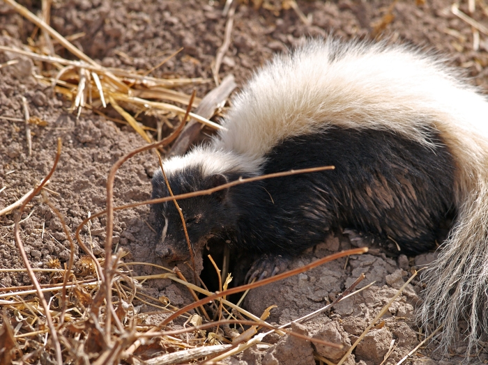 Striped Skunk, Salton Sea, California. The various bouquets of the Salton Sea make a skunk nearly undetectable