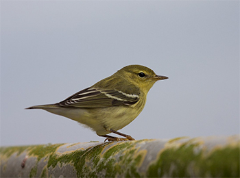 Blackpoll Warbler, Autumn/Winter Plumage (Photo by Matthew Brady)