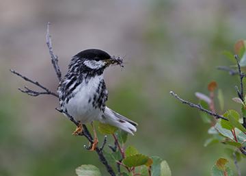 Blackpoll Warbler, Spring/Summer Plumage