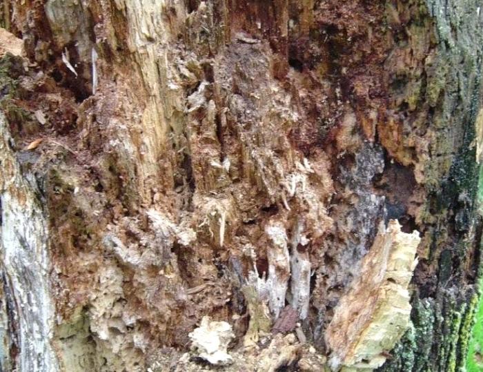 Carpenter Ant Damage, Aspen Tree, Fairbanks