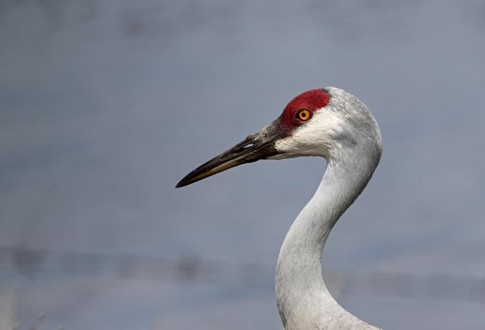 Sandhill Crane, Cascade Lake, Idaho