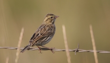 Probable Juvenile Savannah Sparrow, New Meadows, Idaho