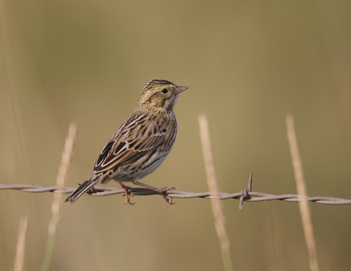 Probable Juvenile Savannah Sparrow, New Meadows, Idaho