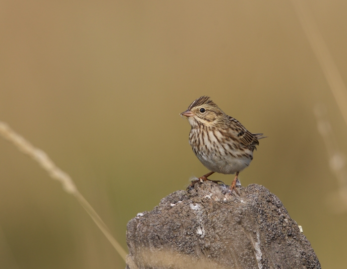 Probable Juvenile Vesper Sparrow, New Meadows, Idaho