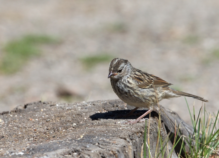Probable Juvenile White-crowned Sparrow, Sawtooth NRA, Idaho