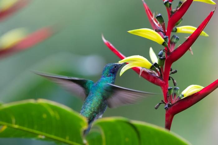 Green Violetear foraging, Savegre, Costa Rica