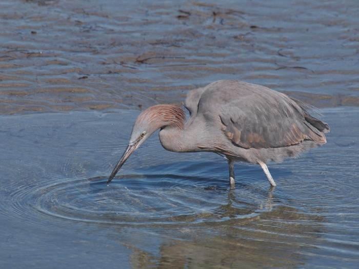 Reddish Egret, Texas