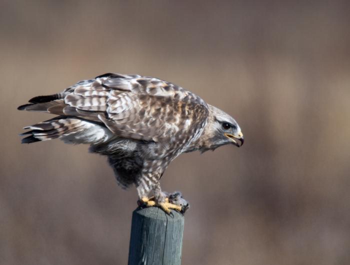 Rough-legged Hawk, Delta Barley Project, Alaska