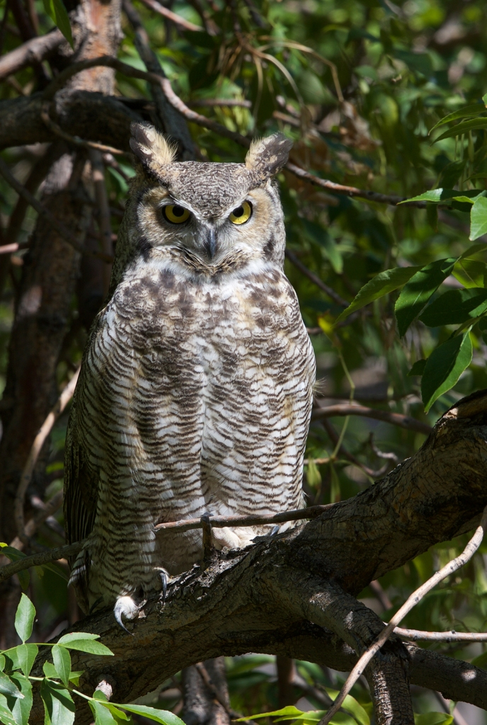 Great Horned Owl, gender uncertain, Swan Falls, Snake River Canyon