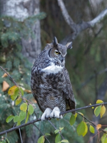 Great Horned Owl, Interior Alaska