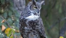 Great Horned Owl, Interior Alaska