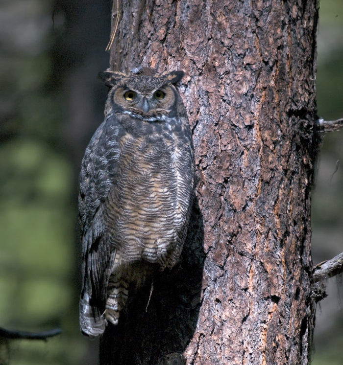 Male Great Horned Owl, Lick Creek Road, Idaho
