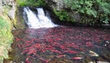 Salmon stream near my home. Photo: Michelle Ravenmoon