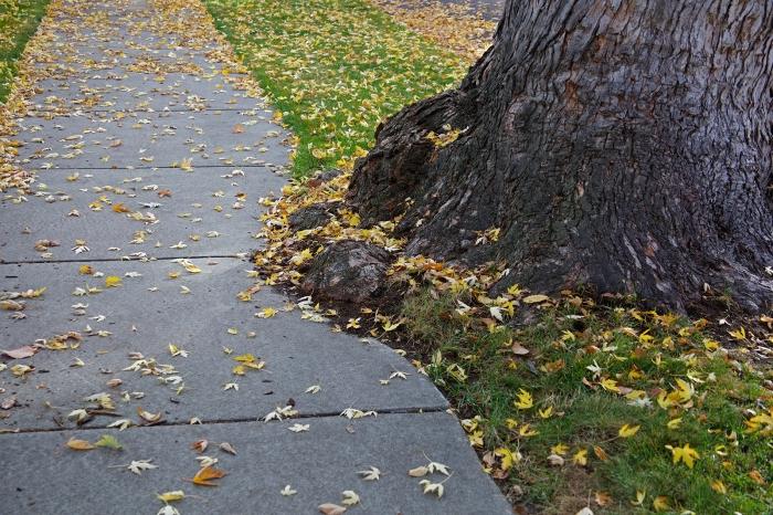 Sidewalk modified to allow tree, Alturas Street