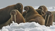 Walrus, Chukchi Sea (Photo credit Center for Biological Diversity)