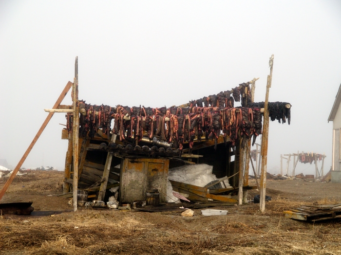 Walrus Meat Drying, Gambell, Alaska