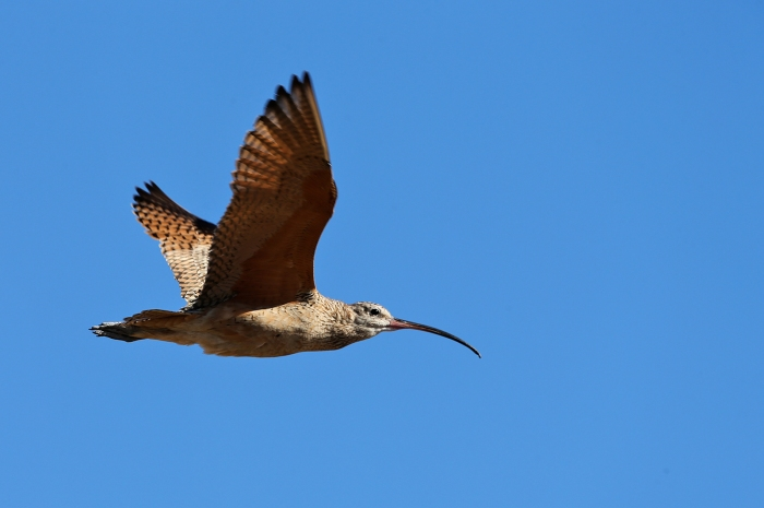 Long-billed Curlew, Malheur NWR, 2017