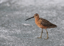 Long-billed Dowitcher, Peat Ponds, Fairbanks, Alaska