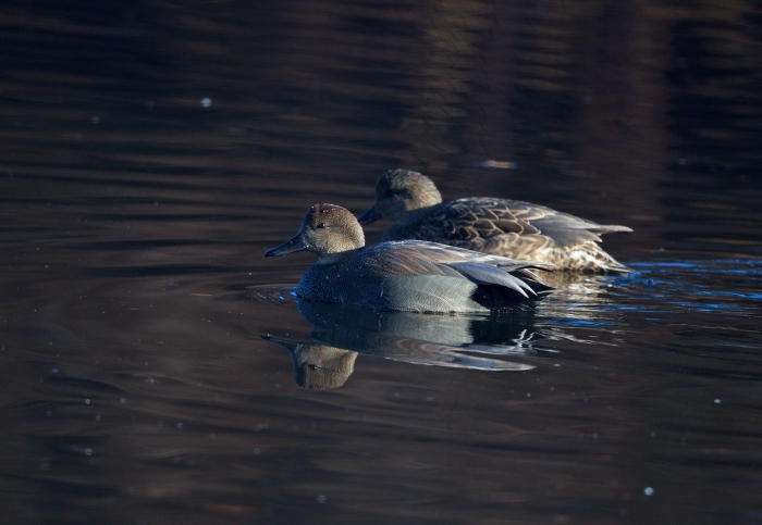 Gadwall Drake and Hen, Alberston Park, Boise, Idaho