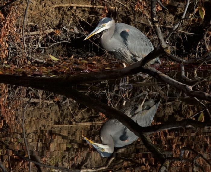 Great Blue Heron, Albertson Park, Boise, Idaho
