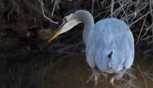 Great Blue Heron, Albertson Park, Boise