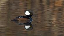 Hooded Merganser Drake, Albertson Park, Boise, Idaho