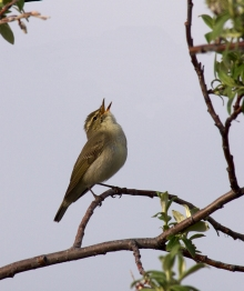 Arctic Warbler, Whistle Ridge, Denali Highway