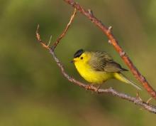 Wilson's Warbler, Tangle Lakes, Denali Highway