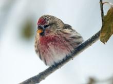 Common Redpoll, -40° F, Fairbanks