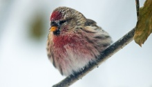 Common Redpoll, -40° F, Fairbanks