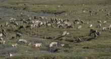 Caribou from the Porcupine herd gather in a drainage of the Brooks Range in ANWR, June 2009. (Richard J. Murphy / ADN archive)