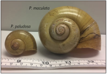 Size Comparison: Apple Snail and Island Apple Snail