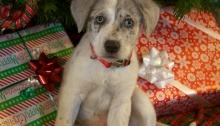 Talulah Blue, age ten weeks or so, ready for Christmas