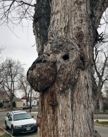 Tree Trunk, Eliis and 21st Street, Boise, Idaho