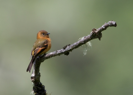 Cinnamon Flycatcher, Menu Road, Peru